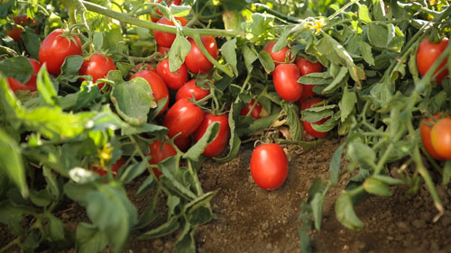 tomatoes45tr